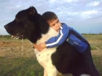 Фотографии щенки кавказской овчарки.