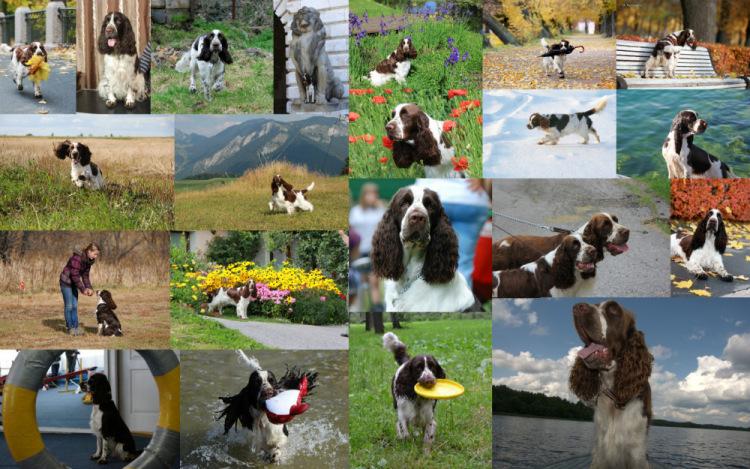 Спрингеры Foxberryhill's -Saima, Kaj, Gerda, Lotta, Connie, Violetta - Страница 12 194947-f3776-76811592-m750x740-u35bd0