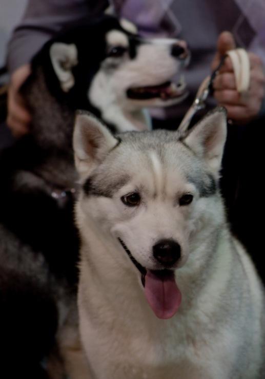 хаски, выстовка собак, Нижний Новгород